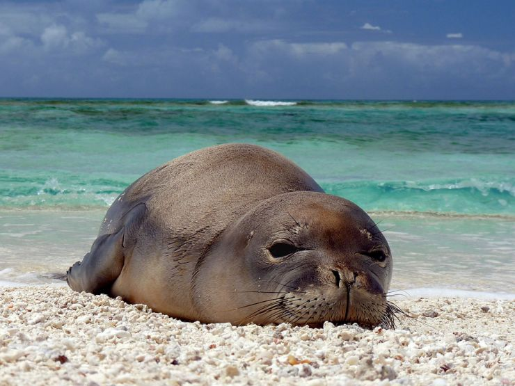 Hawaiian Monk Seal at French Frigate Shoals