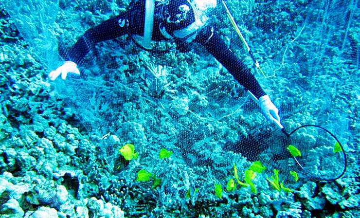 Diver capturing yellow tangs